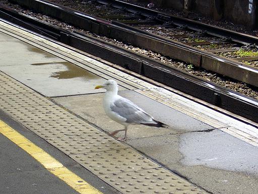 Seagull commuter