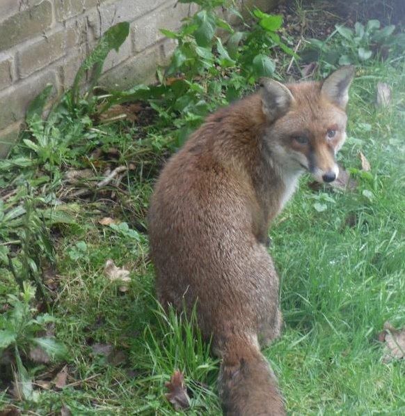 Fox in the back garden